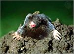 This is a mole... Kinda cute but these guys can cause alot of problems making mole hills and eating your gardening work! These products to stop moles work great!